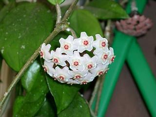 Riconoscimento pianta forum di for Pianta fiori di cera